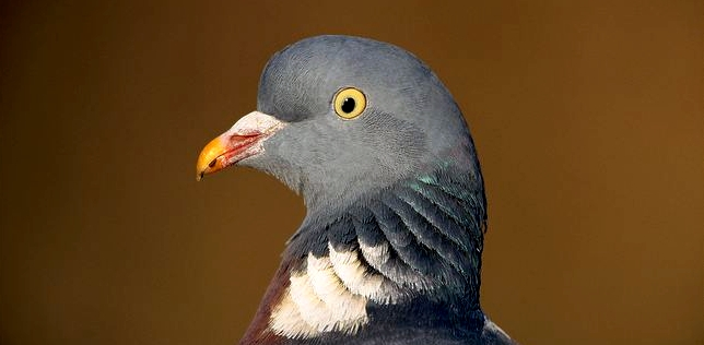 Woodpigeon-head-detail a